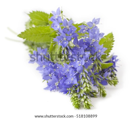 Veronica teucrium flower on white background