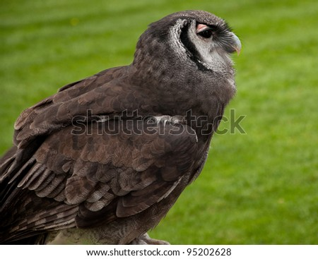 Verreaux's Eagle Owl (Bubo lacteus) - stock photo
