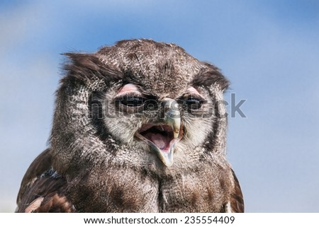 Verreaux's Eagle Owl in close up. A head and shoulders view of Verreaux's eagle owl with its comical face. - stock photo