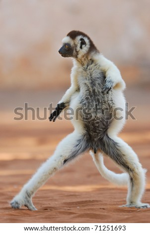 Verreaux's Sifaka (propithecus verreauxi) dancing in the Berenty Nature Reserve, southern Madagascar - stock photo