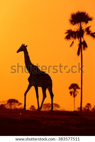 Vertcical silhouette of Angolan Giraffe,Giraffa camelopardalis angolensis, walking in the colorful evening savanna against orange background with palm trees. - stock photo