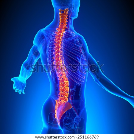 Vertebrae Anatomy with Ciculatory System - stock photo