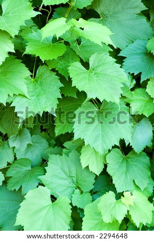 Vertical background of grape vine leaves