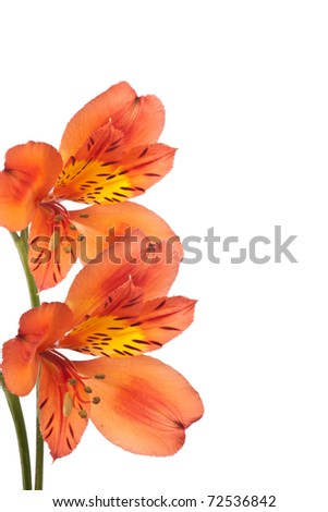 vertical closeup alstroemeria isolated on white background - stock photo