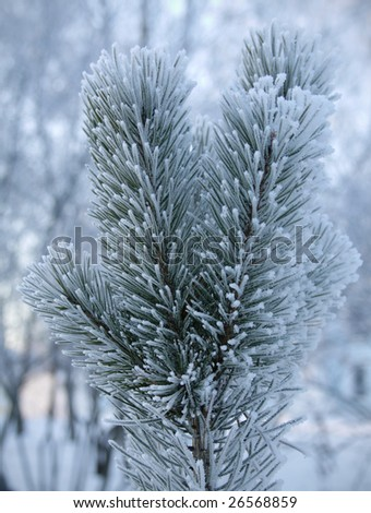 vertical closeup of a fir branch in winter
