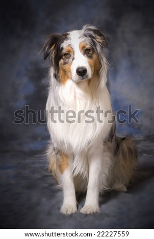 Vertical image of a full body shot of a beautiful purebred Australian Shepherd on a mottled blue and grey background. - stock photo
