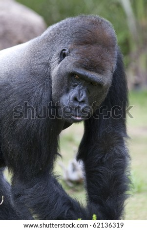 Vertical image of a silverback (male) lowland gorilla facing camera.