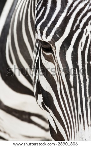Vertical image of a the face of a Grevy's zebra close up. - stock photo