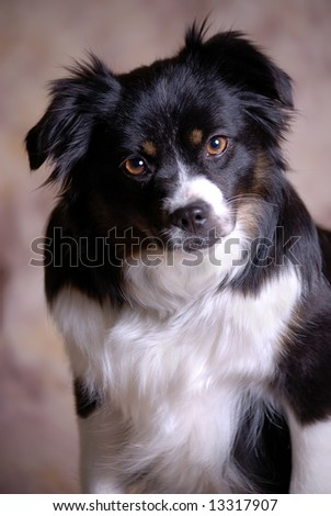 Vertical image of a tri-colored Toy Australian Shepherd looking into the camera against a light brown background.
