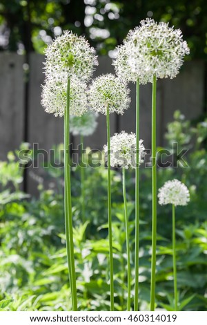 Vertical image of very tall white allium flowers.
