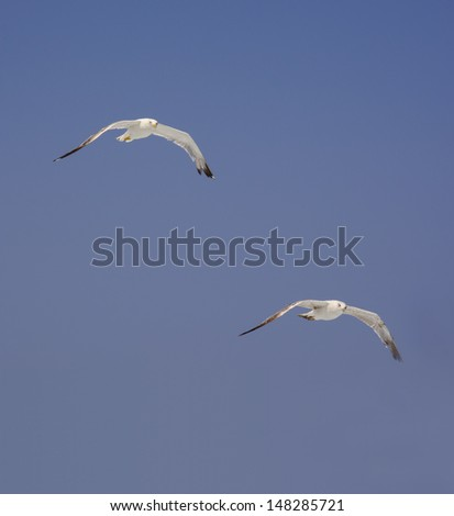 Vertical image with two Mediterranean seagulls soaring on blue sky. Eye contact, Cape Formentor. - stock photo