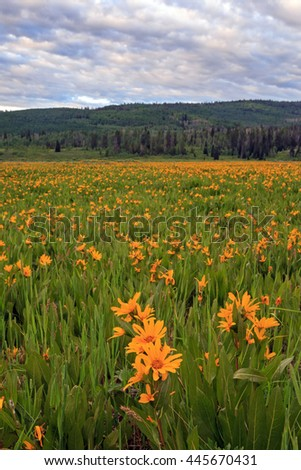 Vertical image with yellow wildflowers in a meadow, Utah, USA. - stock photo