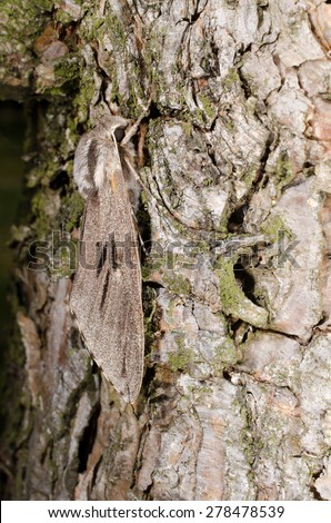 vertical macro: pine hawkmoth - stock photo