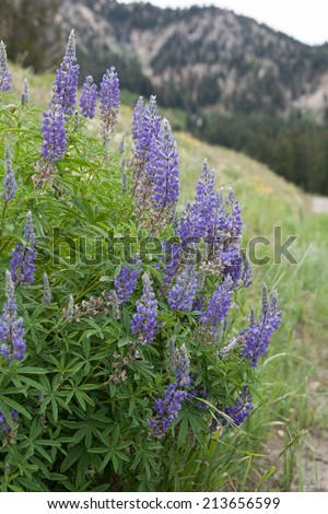 vertical orientation close up of lupine flowers in the foreground, and mountains in the background, in the town of Alta, Utah, USA / Lupine and Mountains - Vertical - stock photo