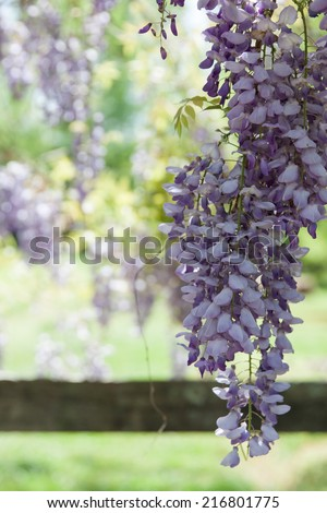 vertical orientation close up of purple wisteria in the foreground, with a vintage wooden fence rail in the background, and copy space / Wisteria Blossoms Above - stock photo