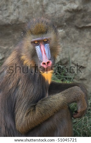 Vertical oriented capture of Mandrill in the zoo. - stock photo