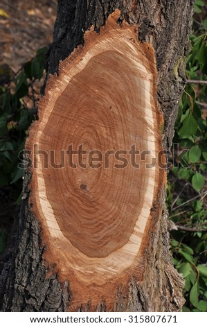 Vertical oval cross section with growth rings left on a tree stem after cutting off a big branch. - stock photo
