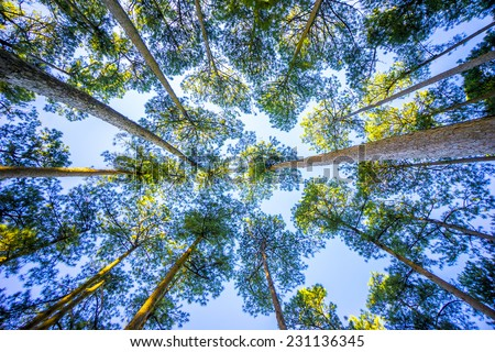 Vertical perspective within a dense forest of pine trees in Da Lat, Vietnam - stock photo