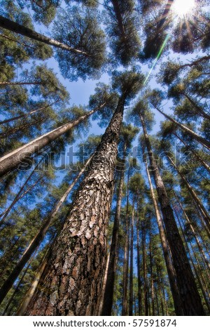 Vertical perspective within a dense forest of pine trees in Transylvania (Romania). - stock photo