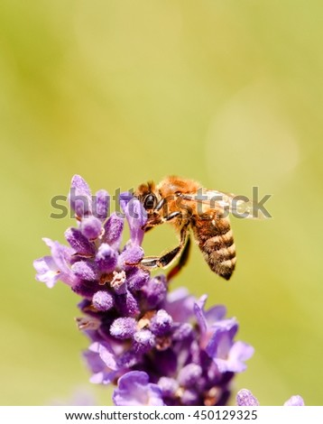 Vertical photo of honeybee. Detail of single bee which is collecting pollen on purple lavender bloom. Violet flower with detail of insect body. Macro photo of yellow bee body. - stock photo