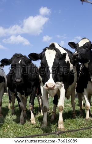 Vertical photography of cows in the pasture. - stock photo