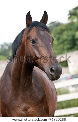 Vertical portrait bay thoroughbred horse on paddock - stock photo
