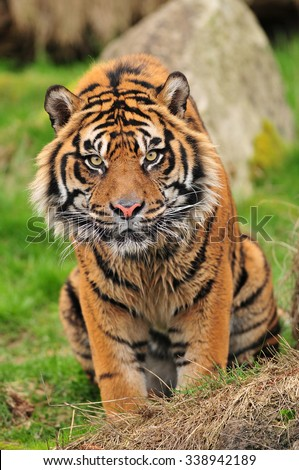 Vertical portrait of a curious looking tiger staring towards the camera - stock photo