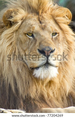 vertical portrait of male lion face (scientific name: Panthera leo krugeri) - stock photo