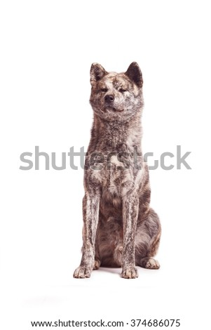 Vertical portrait of one dog of Akita breed of brindle color sitting on isolated background