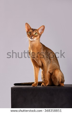 Vertical portrait of one domestic cat of Abyssinian breed with yellow eyes and red short hair, sitting