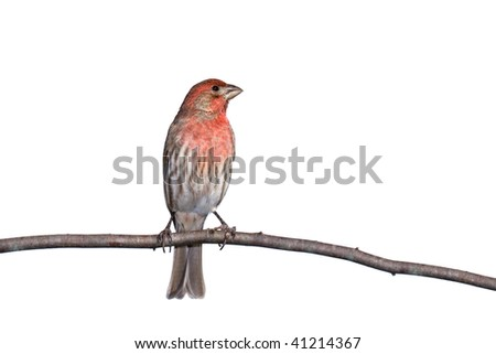 vertical profile of house finch perched on a branch, white background - stock photo