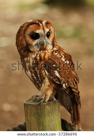 Vertical shot of a Barn Owl on a post with neutral mottled browns in the background. - stock photo