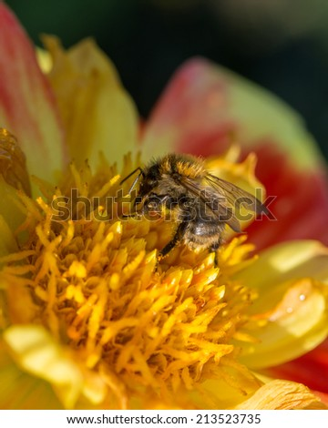 Vertical shot of a leafcutter bee pollinating on yellow and red flower - stock photo