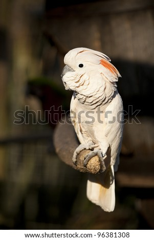 Vertical shot of a Moluccan Cockatoo parrot basking in sunlight on a wooden perch. These birds are also known as Salmon Breasted Cockatoo. - stock photo