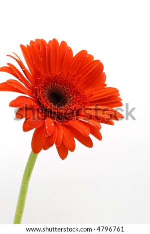 Vertical shot of  one red Gerber Daisy with green stem over white background - stock photo