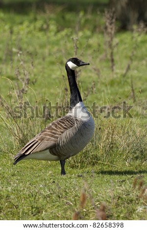 Vertical shot of the side profile of a Canadian Goose stood on grass in sunlight. - stock photo