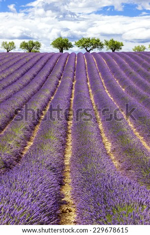Vertical view of lavender field with cloudy sky, France, Europe - stock photo