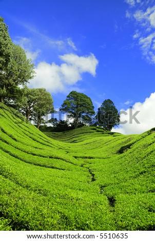 Verticle shot of Tea Plantation at Cameron Highland, Malaysia - stock photo