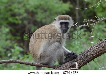 Vervet Monkey - stock photo