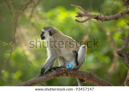 Vervet monkey (Blue ball monkey) Tarangire National Park, Tanzania, Africa - stock photo