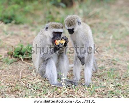 Vervet Monkey eat apple, National park of Kenya, Africa - stock photo
