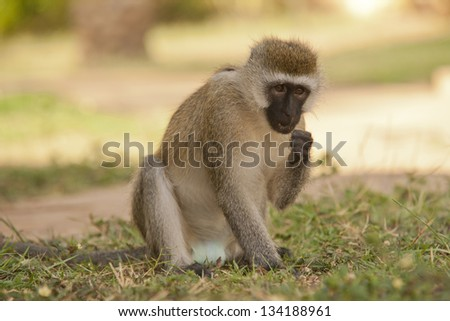 Vervet monkey  in Amboseli National Park of Kenya