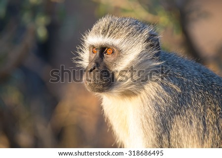 Vervet monkey portrait close up with detail on his long facial hair