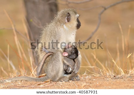 Vervet monkey with baby,Kruger National Park,South Africa