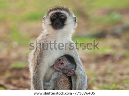 Vervet Monkey with baby suckling  (Scientific name:cercopthecus aethiops, or Tumbiili in Swaheli), Tarangire National Park in Tanzania