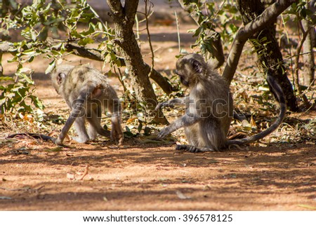 Vervet monkeys at a South African game reserve.