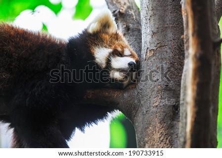 Very adorable red panda sleeping - stock photo