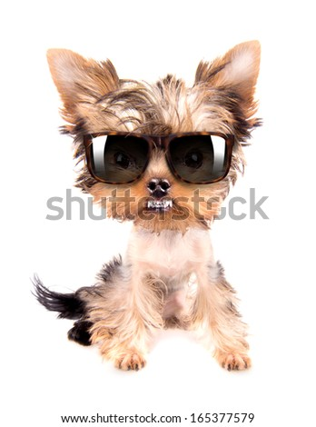very angry dog with fashion shades on a white background - stock photo