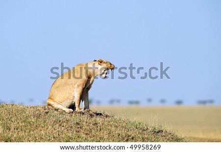 Very angry Lioness (panthera leo) sitting on top of the hill in savannah in South Africa - stock photo