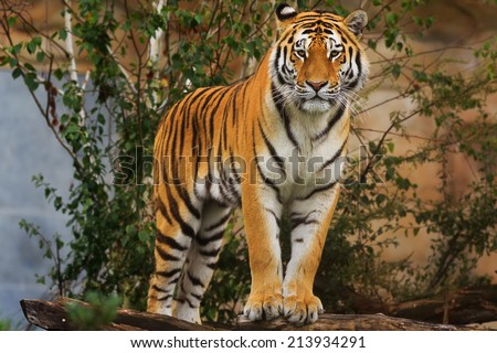 very attentive tiger - stock photo